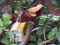 Paradisaea minor (Lesser Bird of Paradise).jpg