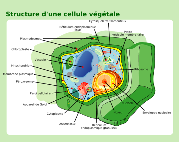 Plant cell structure-fr.png